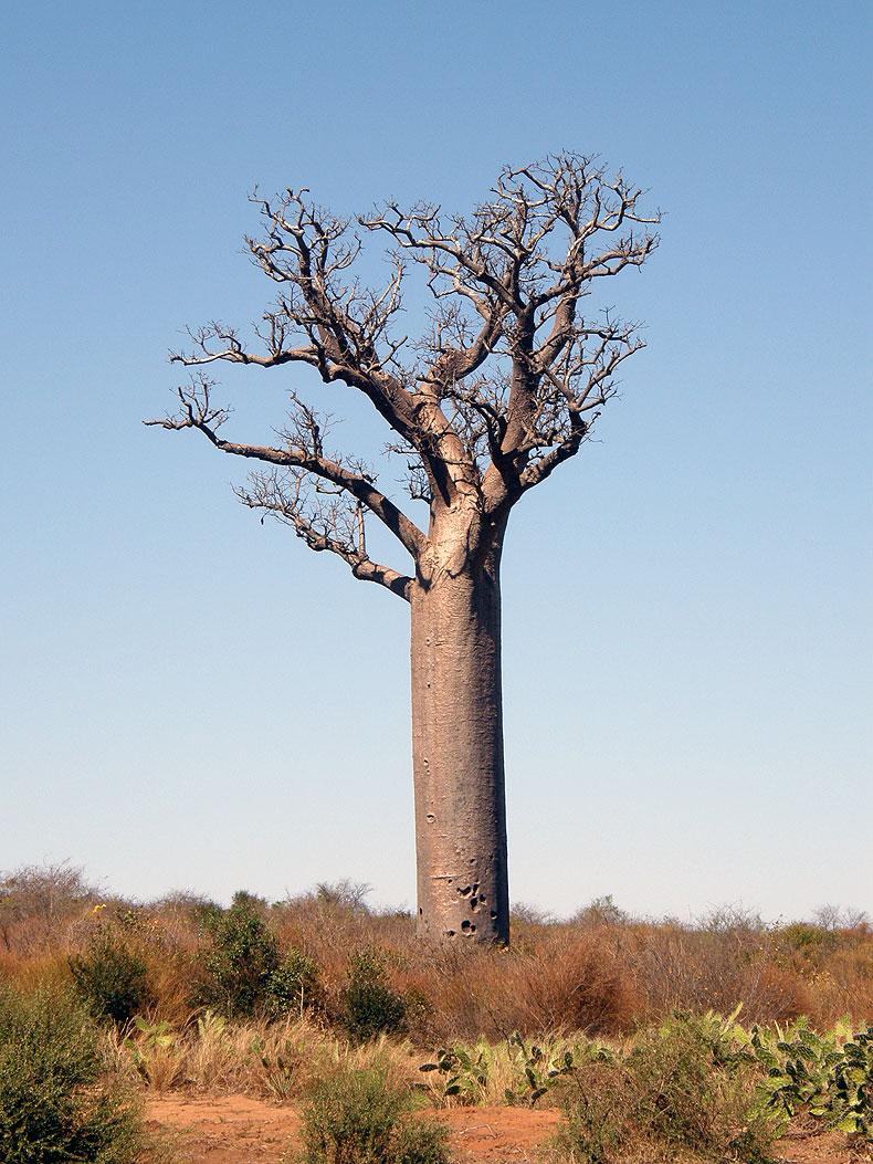 Baobab near Isalo NP