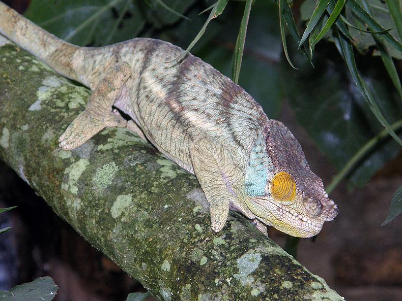 Chameleon in Ranomafana