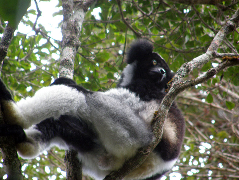 Indri in Perinét – it looks like a messed up panda