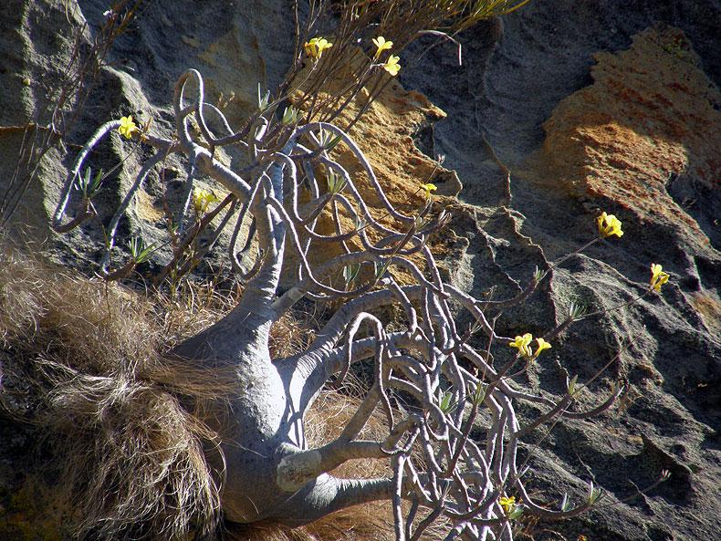 Elephant's Foot Plant (Pachypodium rosulatum), Isalo NP