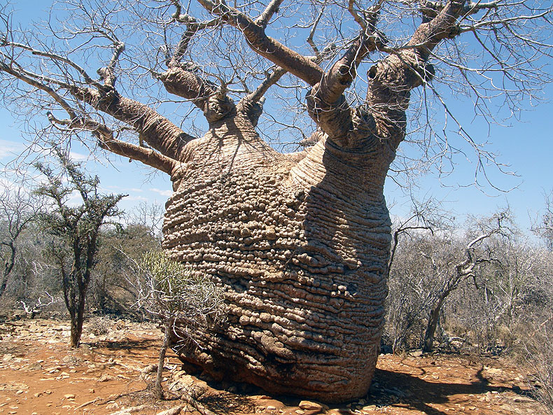 A big baobab near Isalo National Park
