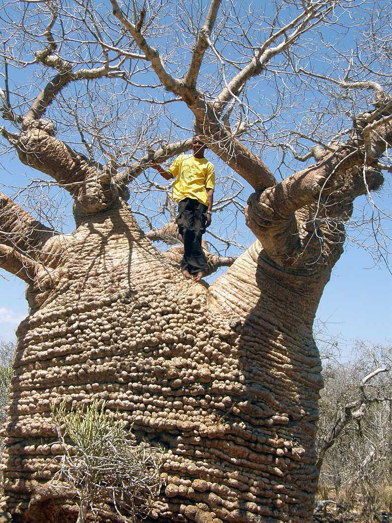 The biggest baobab on the road to Tulear