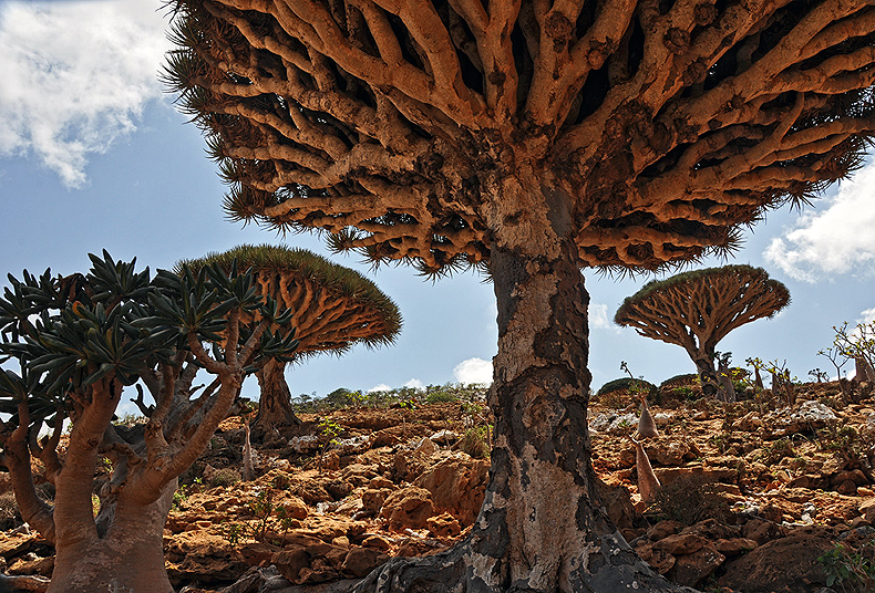 Dragon blood tree - the symbol of Socotra