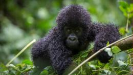 Gorilla and Chimp Safari in Uganda