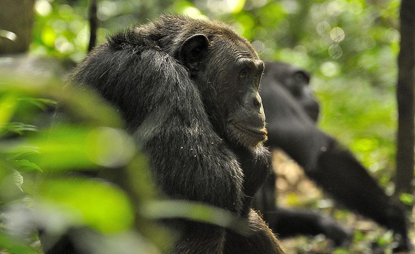 Uganda – Gorilla Tracking og Chimp Safari